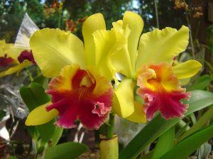 orquideas-amarelas